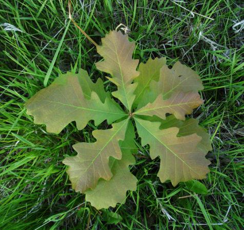 #oakregeneration